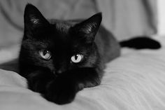 Anyone with a black cat knows they are far from bad luck. Just like any other feline, black cats provide their families with companionship and a lot of lov Cute Cats And Kittens, I Love Cats, Crazy Cat Lady, Crazy Cats, Black American Shorthair, Image Chat, Groucho Marx, Photo Chat, Cat Photography
