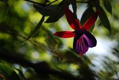 """Flower Fuschia 10"""" x 13"""" Print Nature Photography by thekreations, via Etsy."""