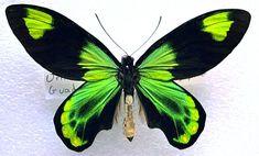 ATHEOPTERA VICTORIAE VICTORIAE Guadalcanal, Solomon Islands; 6/94 ssp victoriae (specimen from Ianni butterflies, Ohio)