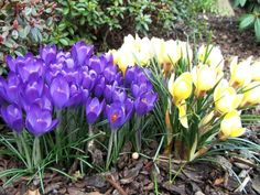 # Crocuses Flowers Yellow Yellow Crocus, Hd Flowers, Desktop Windows, Iphone Mobile, Beautiful Gardens, Wallpaper Backgrounds, Plants, Plant, Planets