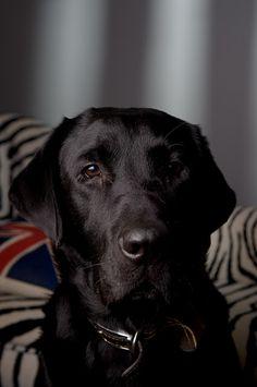 Marley - Black Labrador