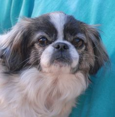 Clifford was at another shelter after being struck by a vehicle. Though traumatized, he did not sustain any major injuries and he has recovered well. Clifford is a calm-natured Pekingese, about 5 years of age, a neutered little gentleman, debuting for adoption today at Nevada SPCA (www.nevadaspca.org). He has tons of unconditional love to share and he gets along wonderfully with other dogs too.