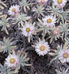 Helichrysum awae
