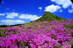 Flores Rododendros en Monte Hwangmae - Corea del Sur