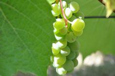 виноград grapes