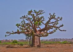 Baobob tree in Senegal, West Africa