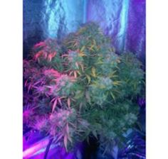 LED Grow Lights Deliver Record-Breaking Medical Marijuana Yields