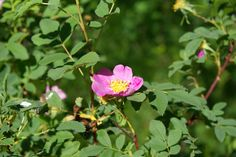 A wild rose...Middle Fork of the Salmon River