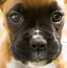 "My family's boxer is going to have puppies soon and I REALLY want to keep one!!!  Boxer puppies are so adorable!!! "")"