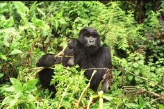 Young Gorillas Use Teamwork To Dismantle Poacher Traps and Pro...