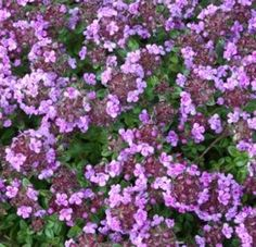 Thyme that is less sensitive to water. For the rock pathway in front of the house.