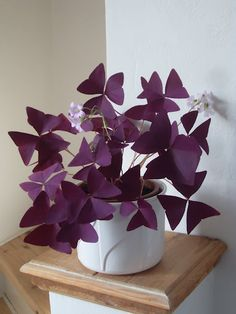 This Oxalis is also a super low maintenance plant that grows quickly and beautifully. Hydroponics, Hydroponic Gardening, Organic Gardening, Abc Garden, Work Trousers, Picnic, 90s Fashion, Presents, Walmart