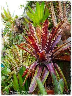 Bromeliads   積水鳳梨