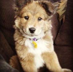 Golden retriever husky mix, might be the cutest puppy ever