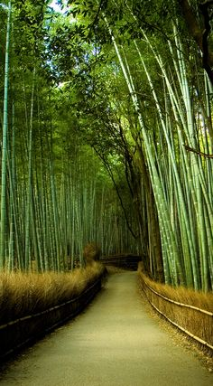 Path traversing through a bamboo garden.  Kyoto, Japan