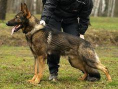 German Shepherd Planet Classifieds - Find German Shepherd BREEDERS ...