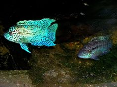 Rare African Cichlids | Cichlid-Forum • New world cichlids