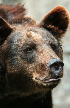 Handsome Grizzly Bear!
