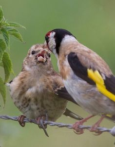 European goldfinches - Adri de Groot