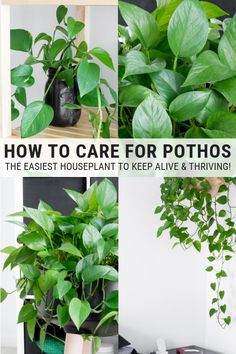 Learn how to care for pothos plants. Golden pothos plant care is easy, and pothos plants are some of the easiest houseplants to keep alive. room plants How to Care for Pothos: Golden Pothos Plant Care & Instructions Golden Pothos Plant, Pothos Plant Care, Calathea Plant, Plant Wall, Plant Decor, Duranta, Inside Plants, Plant Aesthetic, Jade Plants
