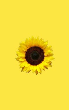 Photo about Bright colorful yellow sunflower isolated over white. Image of close, agriculture, floral - 11947962 Sunflower Png, Yellow Sunflower, Sunflower Quotes, Sunflower Clipart, Png Tumblr, Mellow Yellow, Clip Art, Photo And Video, Wall Art