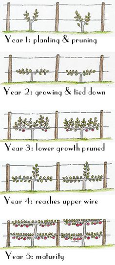Garden Fountains Espalier Fruit Trees for our orchard Espalier the horticultural and ancient agricultural practice of controlling woody plant growth originally for the p. Espalier Fruit Trees, Fruit Tree Garden, Dwarf Fruit Trees, Garden Trees, Trees To Plant, Patio Fruit Trees, Small Fruit Trees, Grape Trellis, Vine Trellis