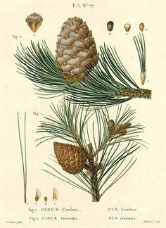 drawing: P. Bessa / Pinus cembra L. / Duhamel du Monceau, H.L., Traité des arbres et…