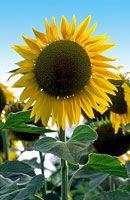 Sunflower 1215