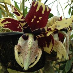 """Stanhopea tigrina, one of the """"upside down"""" orchids with very waxy and highly fragrant flowers."""