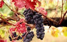 Bildergebnis für grapes