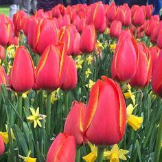 Treat for eyes! #travelgram #vscocam #vscogrid #vscocam #europe #red #love #flowers #natureporn #amsterdam #europe by srashti_s