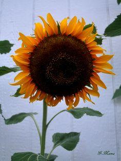 My first home grown yellow sunflower