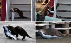 Cheeky otter makes off with a 10lb salmon stolen from a fishing boat