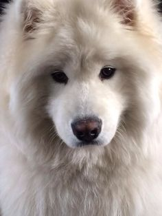 Samoyed. I like this color way more than the really white ones :)
