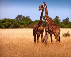 giraffe families always seem so happy