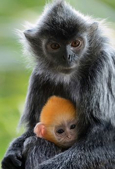 Orange is the new black! The color distinction between langur babies and adults makes it easier for the troop to identify and look after the infants.