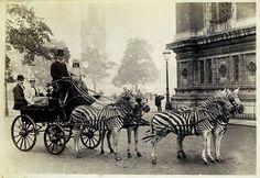 1894 Lionel Walter Rothschild's zebra carriage in London