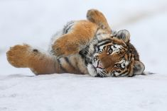 Amur Tiger - Calgary Zoo