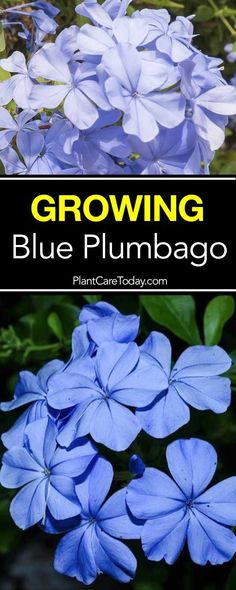 Plumbago Plant Care: How To Grow Blue Flower Plumbago The hardy blue plumbago plant: excellent for a landscape needing a ground cover type plant loving heat, humid summers, drought-tolerant. [LEARN MORE] Flower Landscape, Plants, Garden Shrubs, Perennials, Blue Plumbago, Blue Plants, Growing Flowers, Florida Plants, Blue Flowers