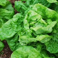 KAGRANER SOMMER  A splendid French Butterhead lettuce having mild, buttery flavoured leaves and well-formed hearts and excellent resistance to heat and bolting. The attractive, soft, thick crumpled leaves make this lettuce a favourite in many gardens.