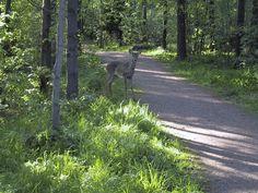 Deer in Central Park. Helsinki. Finland. Stadissa.fi - Helsingin seudun tapahtumat