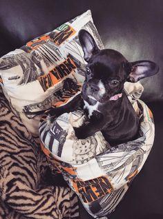 Kiwi Französische Bulldogge | Pawshake