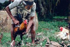 Hahnenkampf auf Bali, 1979 Schneckes/Timeline Images #colorphotography #retro #nostalgic #vintage #historisch #historical #indonesia #indonesien #bali #cock #hahn #fightingcock #kampfhahn #kampfhähne #tradition #traditionell #traditional #animal #animals #tier #tiere #alltagsleben #dailylife #käfig #cage #vogel #bird Fish