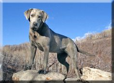 Adult Silver Labrador- such a beautiful animal