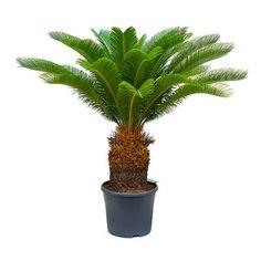 Cycas revoluta - Sago Palm - 28 x (stem Palm Plant, Indoor Plant Pots, Sago Palm Care, Indoor Palms, Palm Garden, Tall Planters, Liquid Fertilizer, Office Plants, New Leaf