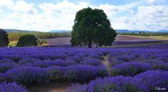 Bridestowe lavender Estate, Tasmania  Photograph © Ellen Vaman  www.facebook.com/ellen.vaman1 #EllenVaman #Photography #Lavender #Tasmania #Bridestowe #Flowers #Nature #Travel #Tassiestyle