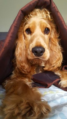 Check out our internet site for additional information on spaniels. It is an outstanding area to read more. Golden Cocker Spaniel Puppies, Perro Cocker Spaniel, Black Cocker Spaniel, Spaniel Dog, Beautiful Dogs, Animals Beautiful, Cute Animals, Pet Dogs, Dogs And Puppies