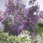 Lilac Bushes, Aromatic Herbs, Tulips Flowers, Companion Planting, Interesting History, Spring Colors, Garden Landscaping, Spice Things Up, Shrubs