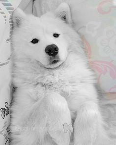 Resting time #samoyed @yummypets