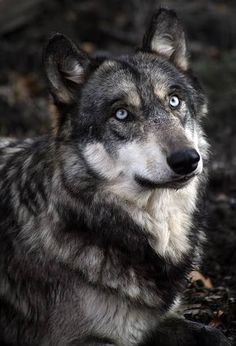 This is not a wolf. Wolves do not have blue eyes. Every wolf you see that has blue eyes is probably a wolf dog hybrid, or good editing. Beautiful Wolves, Most Beautiful Animals, Beautiful Creatures, Beautiful Eyes, Pretty Eyes, Amazing Eyes, Wolf Spirit, My Spirit Animal, Wolf Pictures